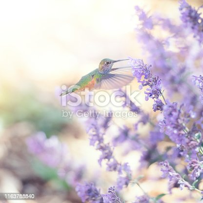 Square image of a hummingbird feeding on purple sage flowers