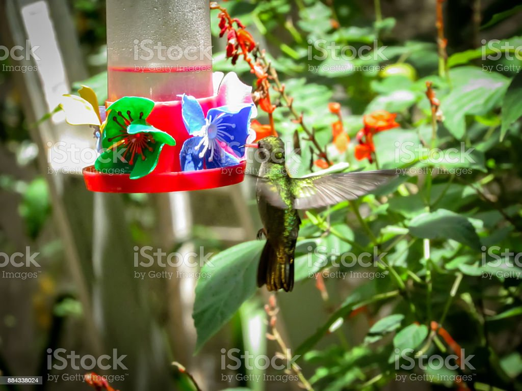 Hummingbird Feeding on Sugar Water Feeder stock photo