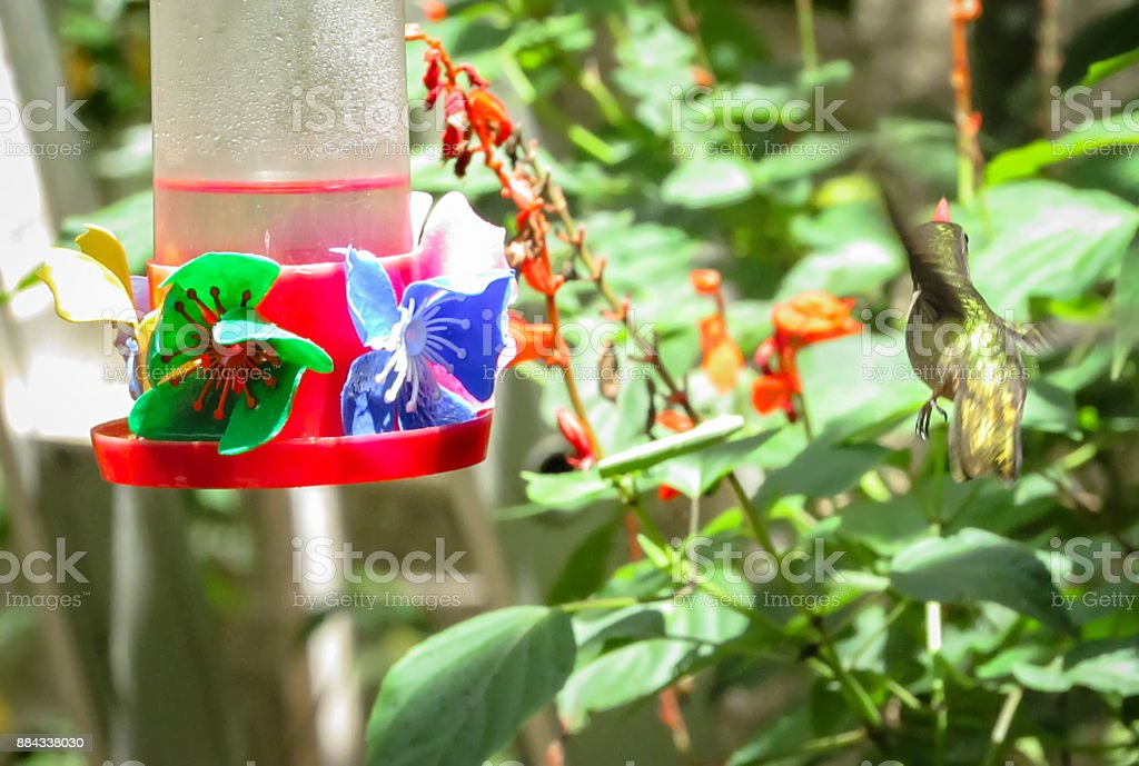 Hummingbird feeding on sugar water feeder