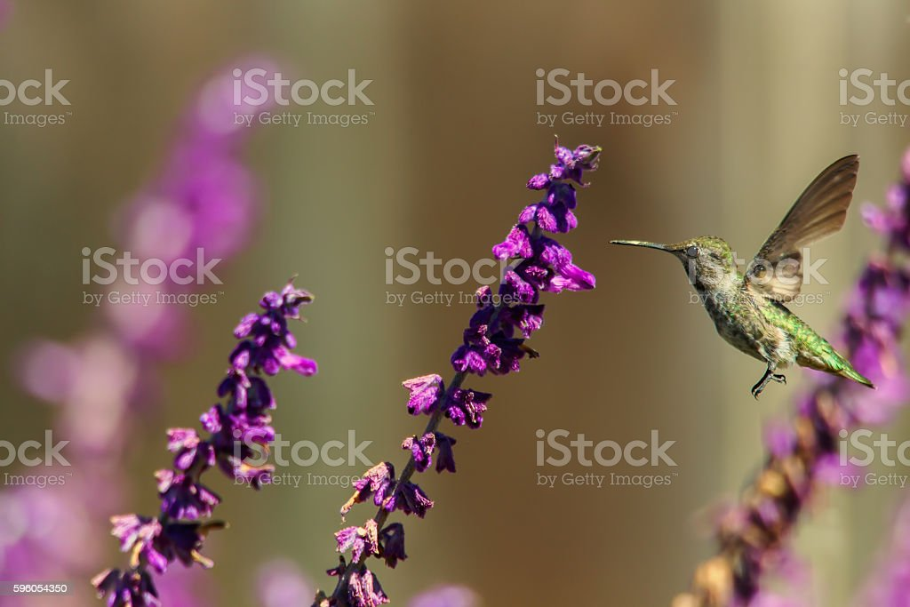 Hummingbird Feeding royalty-free stock photo