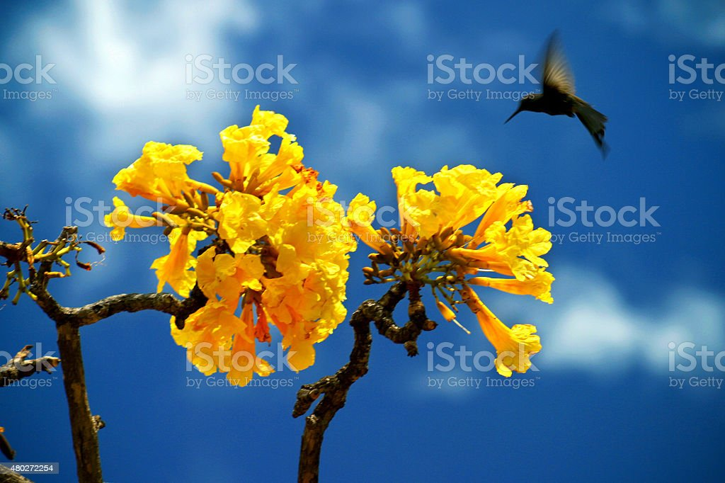 Hummingbird voa perto de uma árvore do Ipê Amarelo, Amarelo foto royalty-free