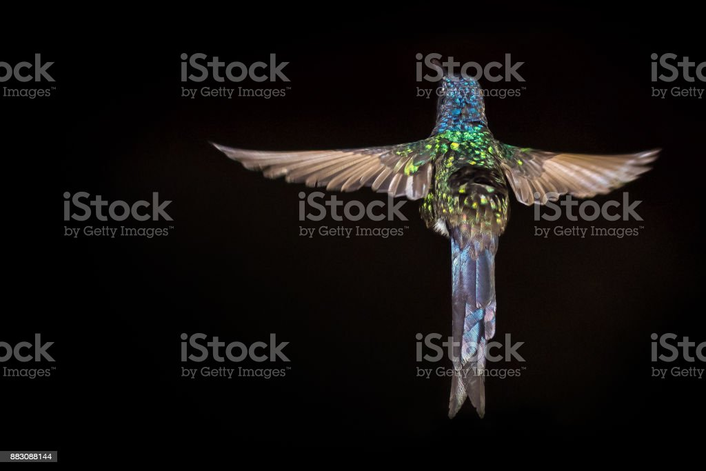 Hummingbird flying - black background stock photo