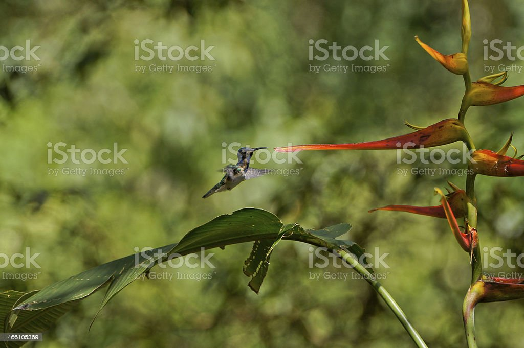 Hummingbird Flying to a Flower stock photo