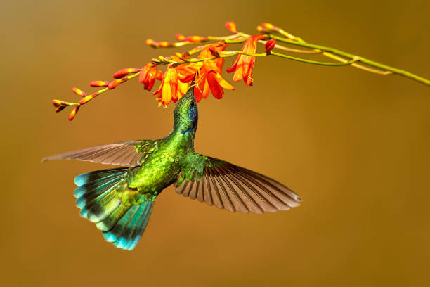 Hummingbird Green Violet-ear, Colibri thalassinus, drinks nectar from to crocosmia, bird from mountain tropical forest stock photo