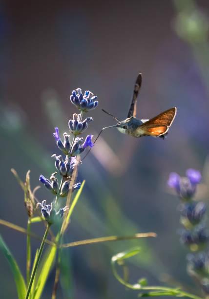 Hummingbird hawk moth butterfly drinking nectar from flower during picture id1179026461?b=1&k=6&m=1179026461&s=612x612&w=0&h= w7hn4kbjfwd3ot34vt0mw9jiww8kupdryqxzr tfjc=