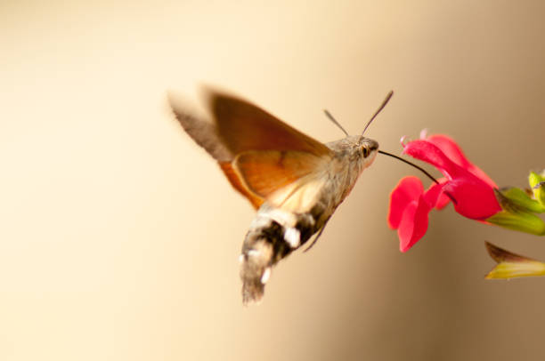 Hummingbird hawk moth picture id1051794152?b=1&k=6&m=1051794152&s=612x612&w=0&h=iacmtyepfk3da3f0cilrae2csnz1pl58fc2eo3tpaoq=