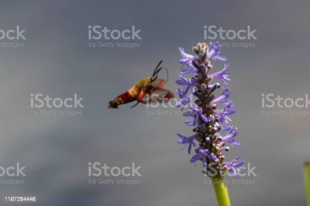 Hummingbird hawk moth picture id1167284446?b=1&k=6&m=1167284446&s=612x612&h=aqyg1pjc1dslo4ajnk6m rv9283b7z2ls02vn32lb5s=