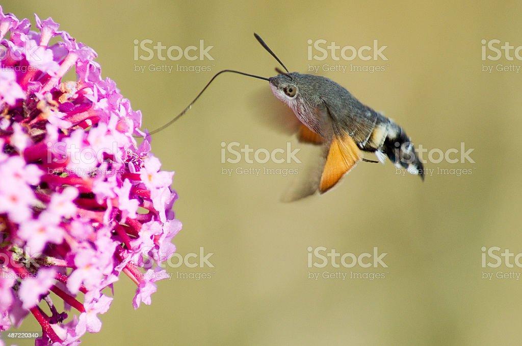 Hummingbird hawk moth stock photo