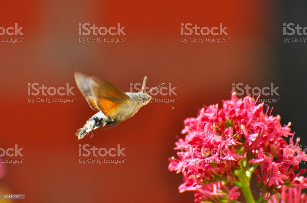 Hummingbird Hawk Moth (Macroglossum stellatarum) sucking nectar from wildflower. stock photo
