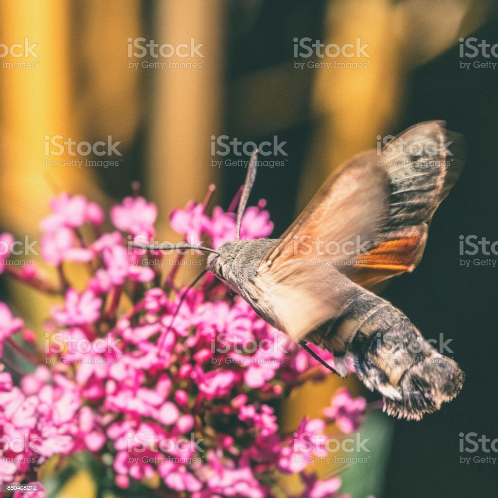 Hummingbird Hawk-moth butterfly sphinx insect flying on red valerian pink flowers in summer stock photo