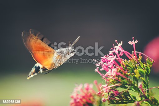 Hummingbird Hawk-moth (Macroglossum stellatarum) is eating nectar from red valerian flower with vibrant pink color flowers like a hummingbird. The Moro Sphinx or Sphinx Hummingbird is an insect belonging to the order Lepidoptera. It is a small Sphingidae. The Moro sphinx has a very long proboscis for foraging flowers hovering at how hummingbirds. It usually gathers nectar from flowers that other insects can not reach. Photography in selective focus of the insect flying during pollination process on red valerian flower plant in nature, during summer, spring season.
