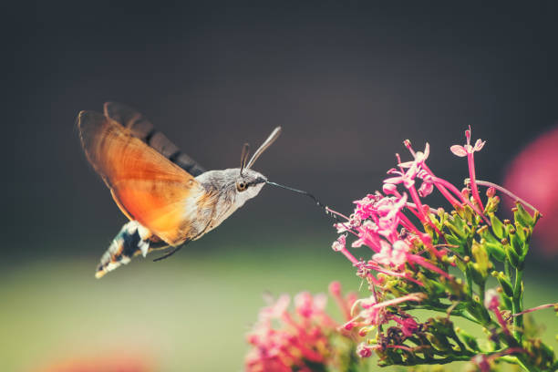 hummingbird hawk-moth butterfly sphinx insect flying on red valerian pink flowers in summer - impollinazione foto e immagini stock