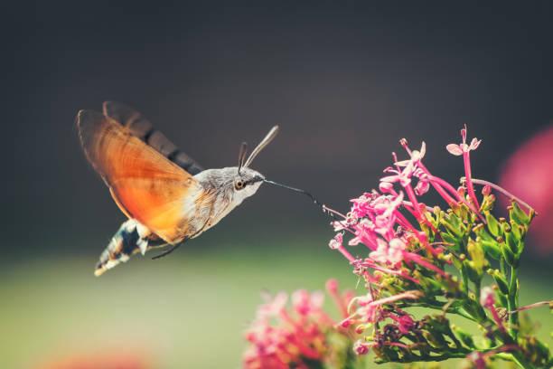 kolibrie hawk-moth vlinder sphinx insect vliegen op rode valeriaan roze bloemen in de zomer - bestuiving stockfoto's en -beelden