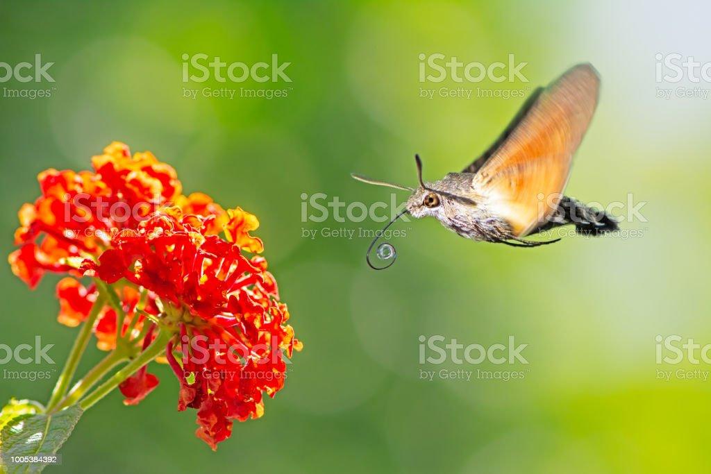 Hummingbird hawk-moth flying to a lantana flower stock photo
