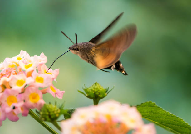 Hummingbird hawk-moth hovering over lantana flower stock photo