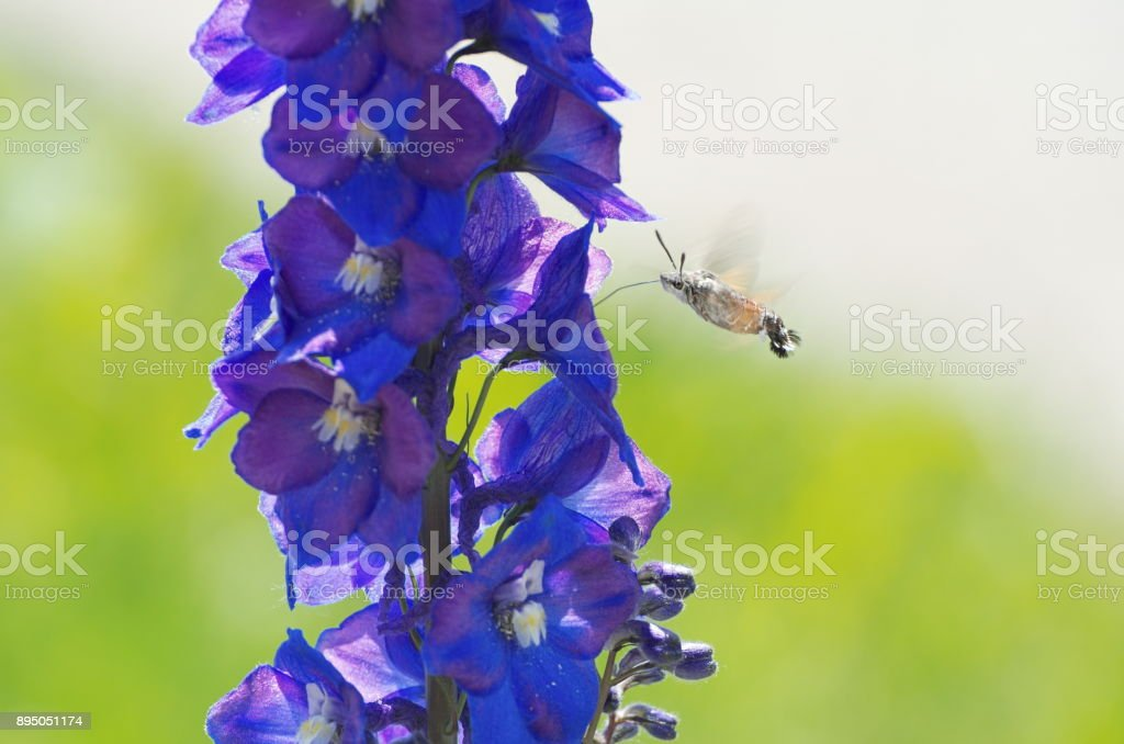 Hummingbird Hawk-moth Hovering stock photo