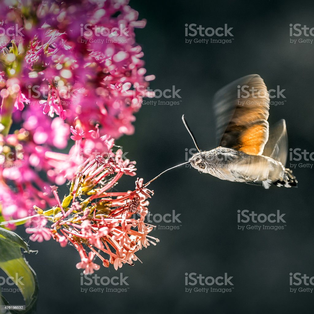 Hummingbird Hawk-moth insect flying on Valerian flower stock photo