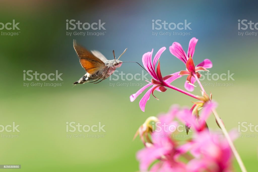 hummingbird hawk-moth Macroglossum stellatarum feeding on pink flowers stock photo