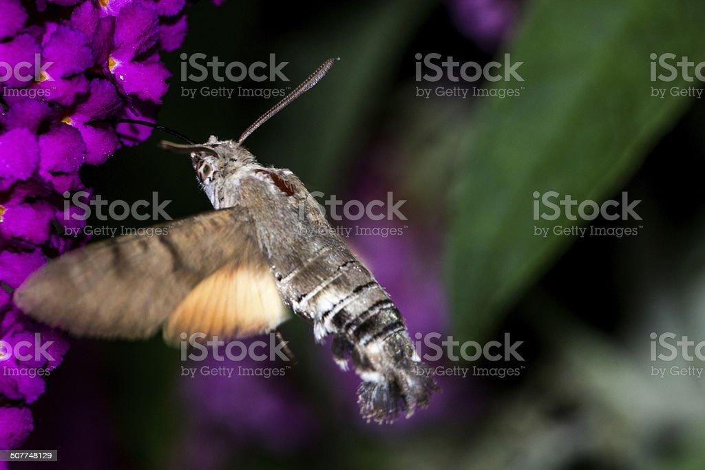 Hummingbird hawk-moth on Buddleja Davidii stock photo