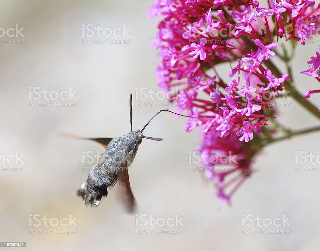 Hummingbird Hawk-moth on Valerian flower stock photo