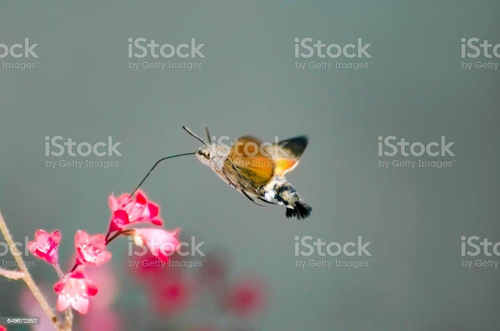 hummingbird hawk-moth over a flower (Macroglossum stellatarum) stock photo