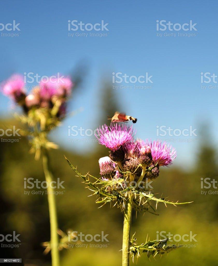 Hummingbird hawk-moth over thistle stock photo