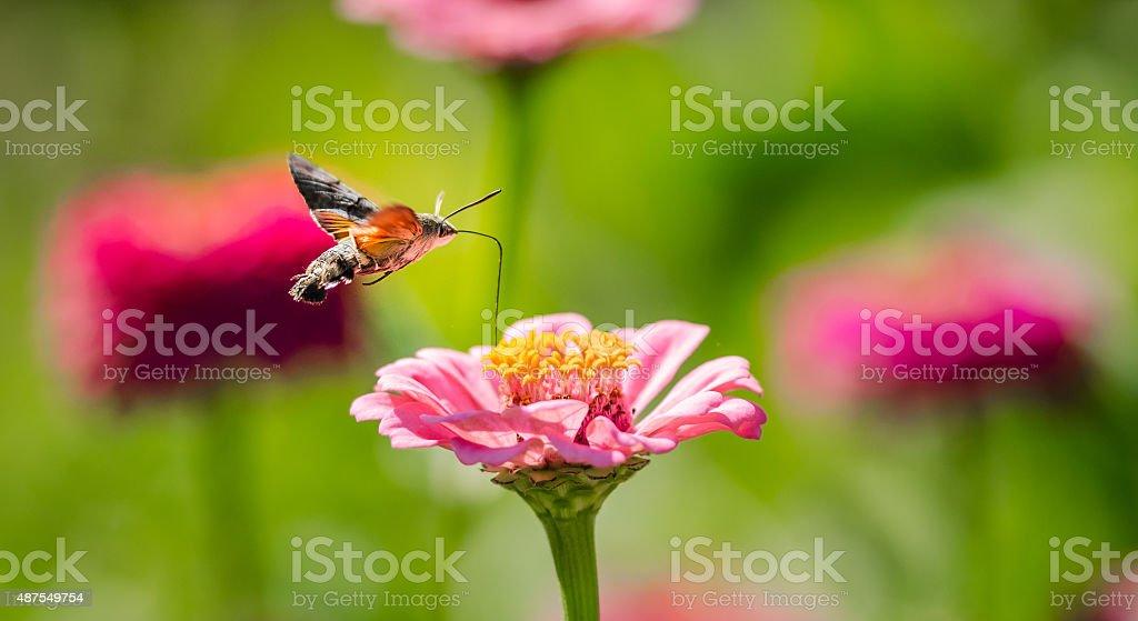 Hummingbird Hawkmoth stock photo