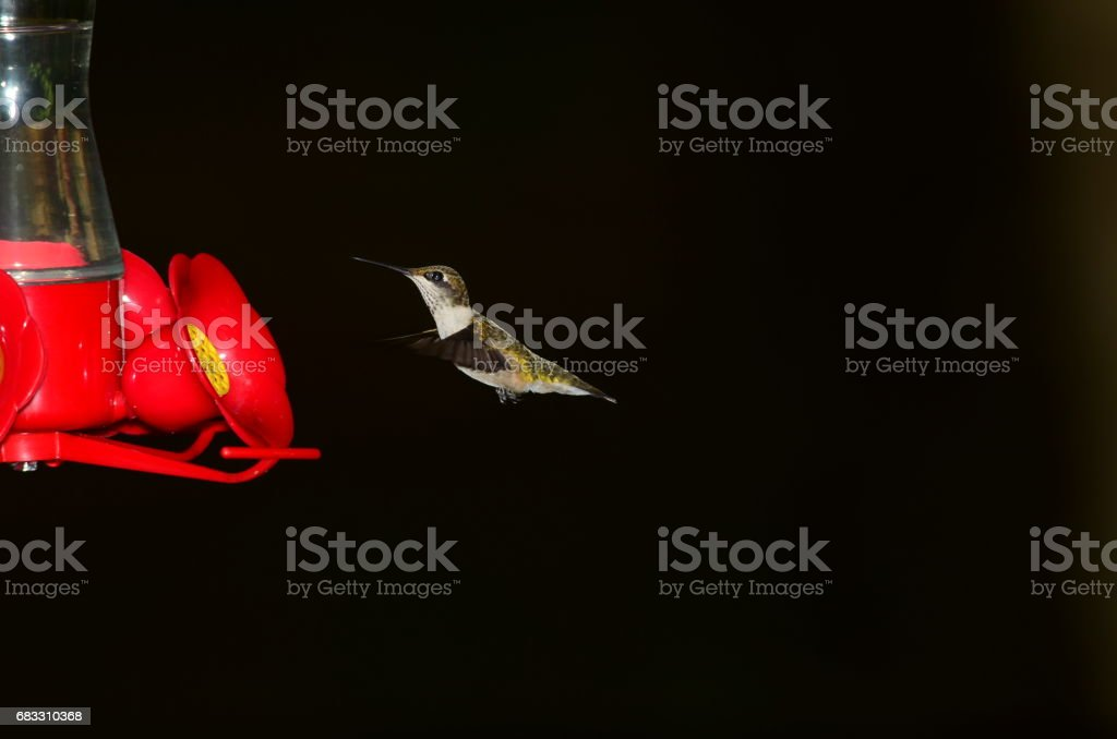 Hummingbird hovering next to feeder with wings extended forwards royalty free stockfoto