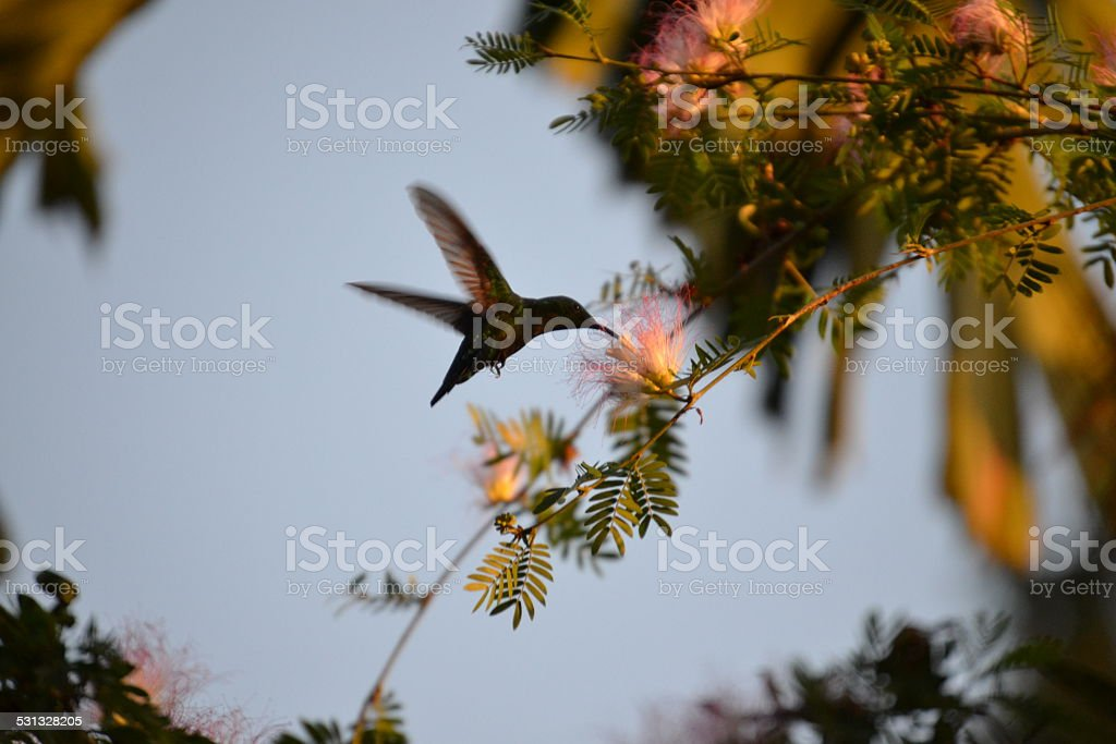 Hummingbird in Action stock photo