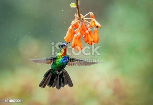 istock Hummingbird in Costa Rica 1191562094