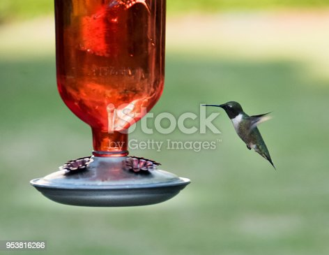 Stop Action photography of a hummingbird in flight at a feeder during springtime. This is a ruby-throated hummingbird
