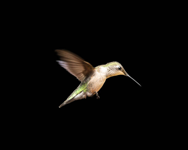 Hummingbird in Flight Isolated on a Black Background stock photo
