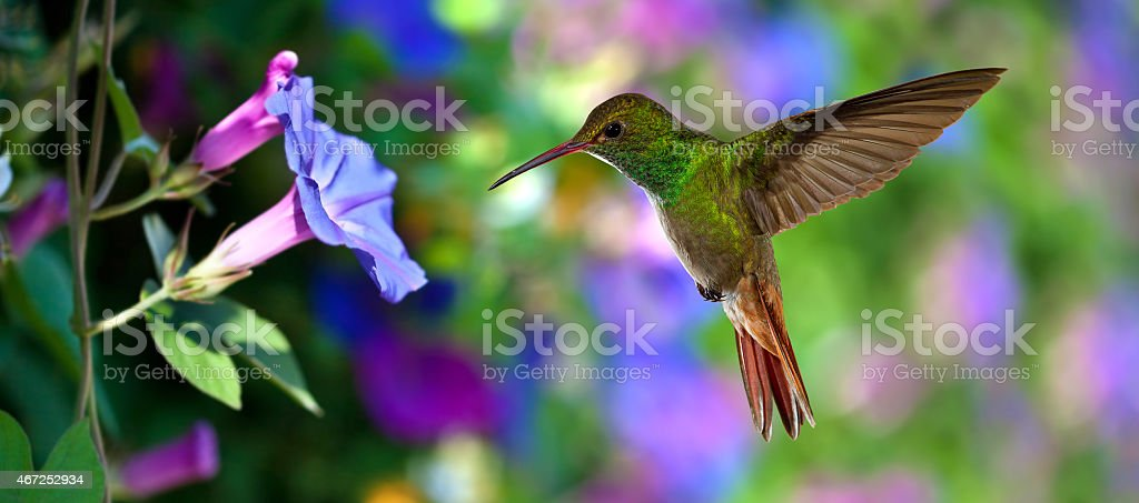 Hummingbird in flight with tropical flowers on colorful background