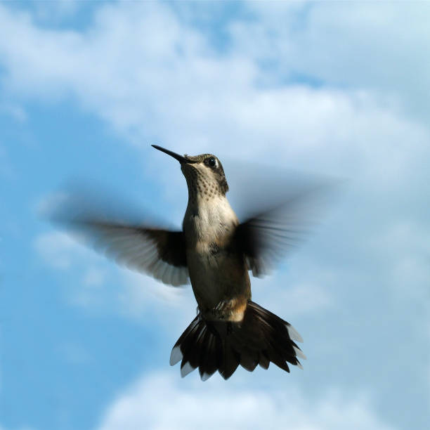 Hummingbird in Flight with Cloudy Blue Sky Background stock photo