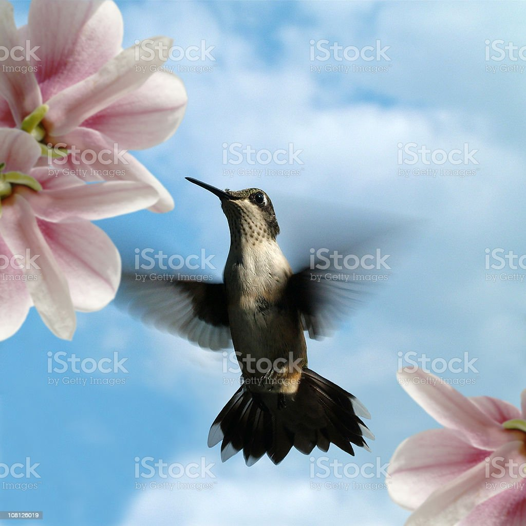 Hummingbird in Flight with  Flowers and Blue Sky Background stock photo