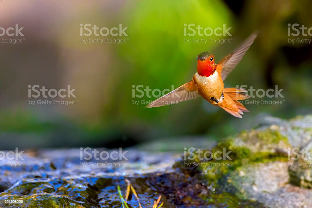 Hummingbird in Golden Gate Park, San Francisco stock photo