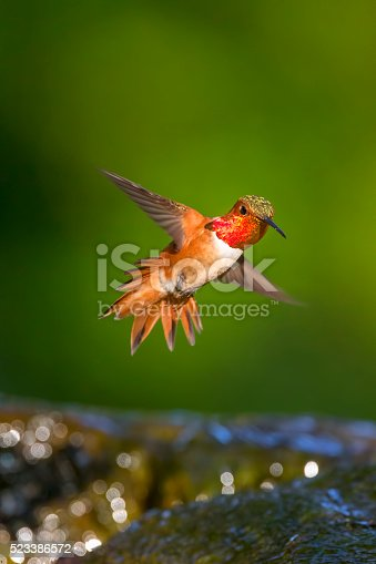 Hummingbird in Golden Gate Park, San Francisco