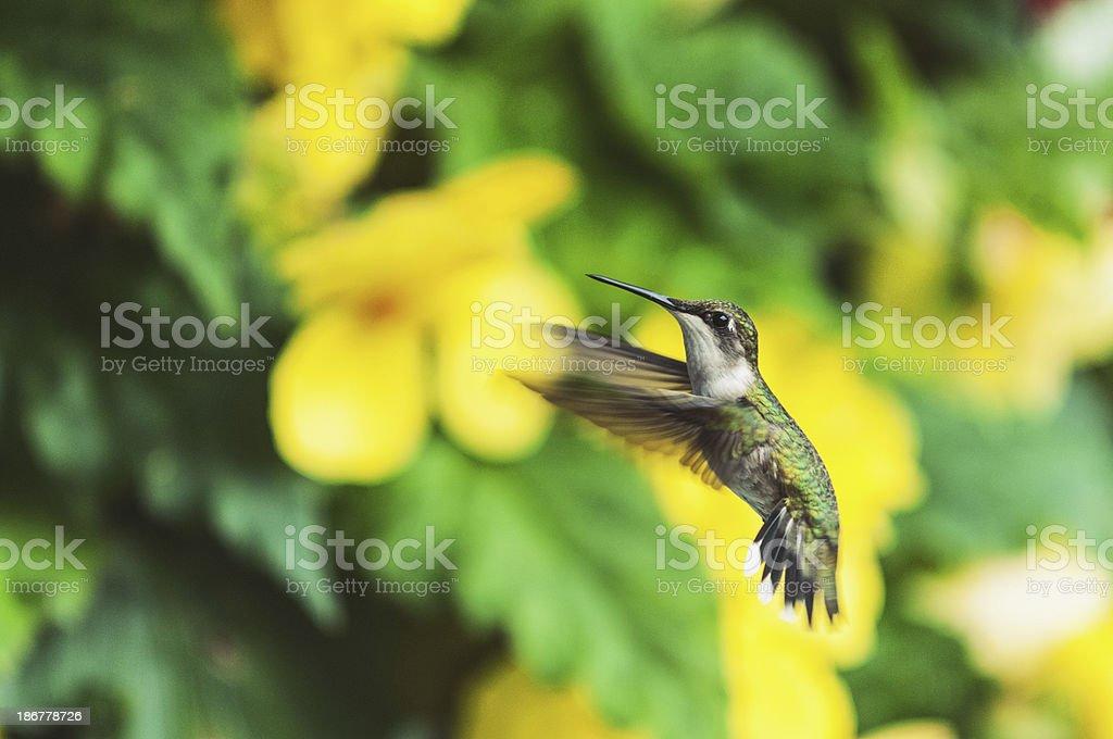 Hummingbird in Mid-Air royalty-free stock photo