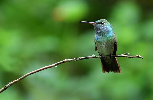 Fotografía de colibrí esmeralda, tomada Foz de Iguazú.