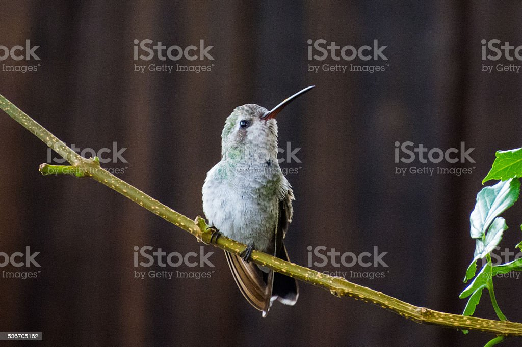 Hummingbird Looking Up stock photo