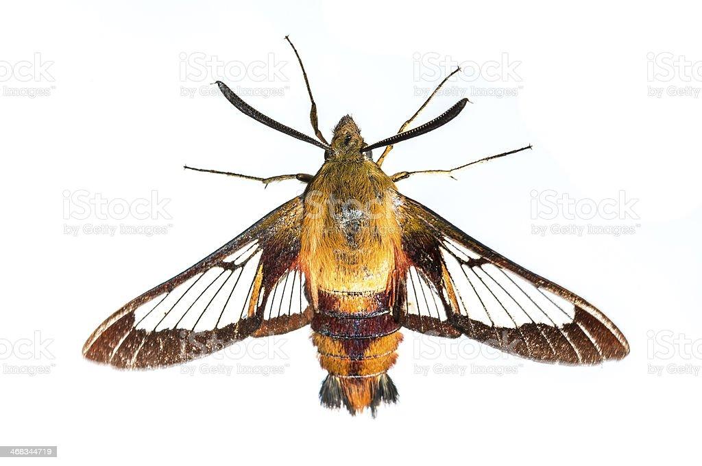 Hummingbird moth on white royalty-free stock photo