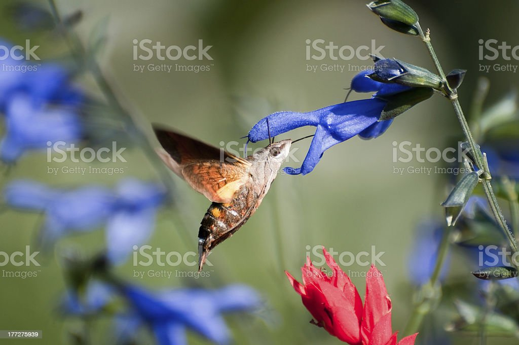 Hummingbird moth royalty-free stock photo