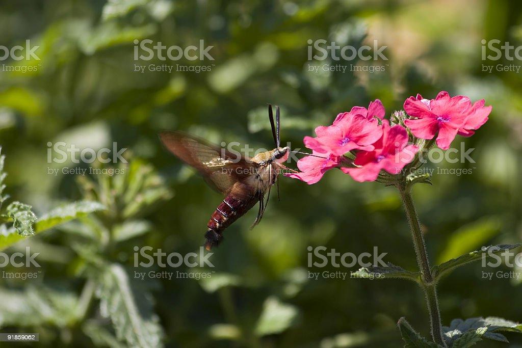 Hummingbird Moth stock photo