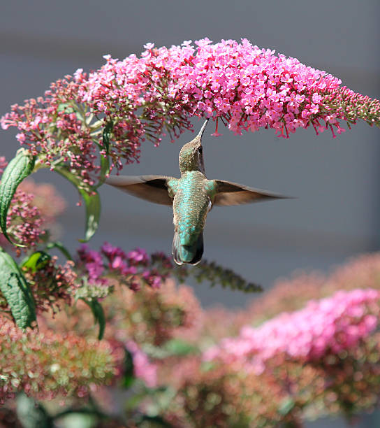 Hummingbird on a butterfly bush. stock photo
