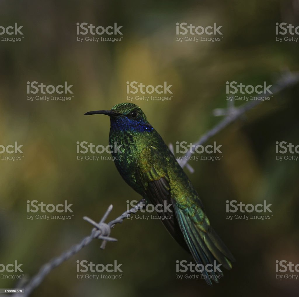 Hummingbird on the barbed wire royalty-free stock photo