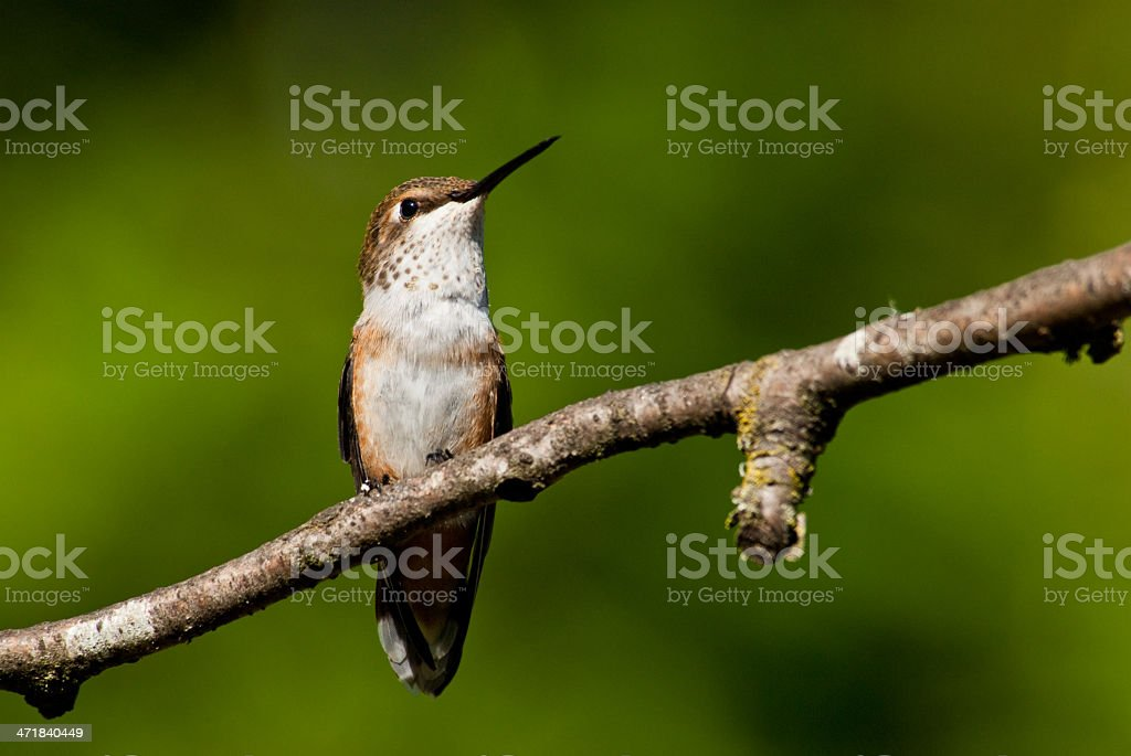 Hummingbird Perched on a Branch royalty-free stock photo