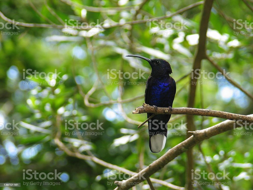 Hummingbird perched on branch royalty-free stock photo