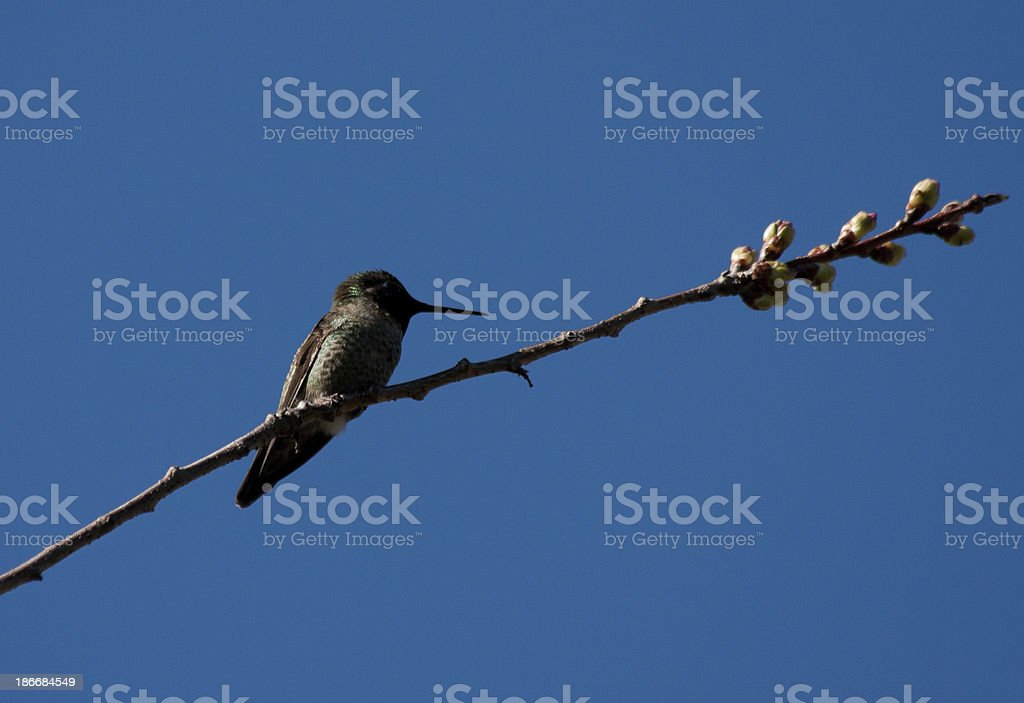 Hummingbird Perched royalty-free stock photo