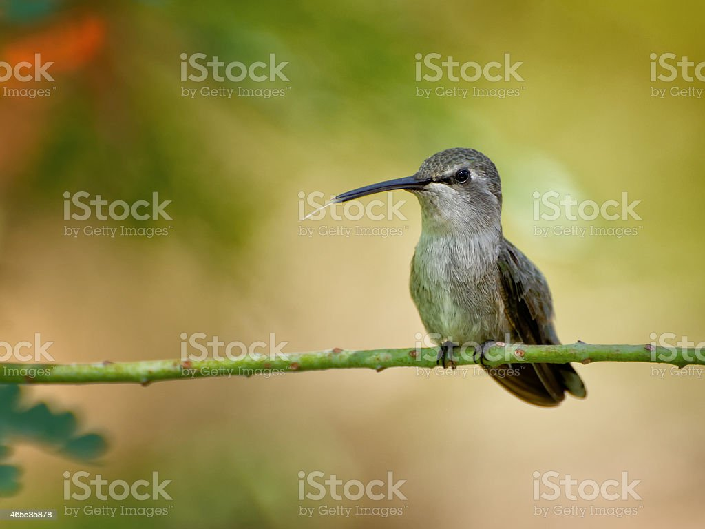 Hummingbird perched with its tongue out stock photo