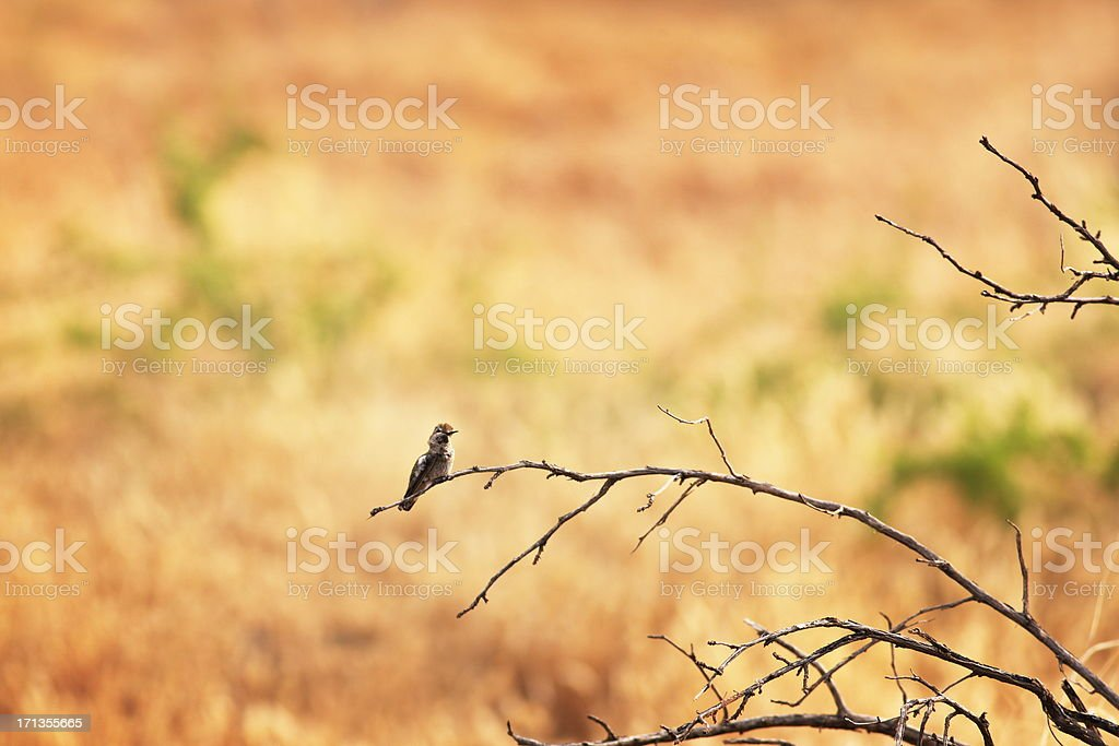 Hummingbird Perching Trochilidae Bird royalty-free stock photo